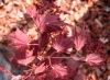 Acer shirasawanum Red Dawn  2 - Year Graft - 2