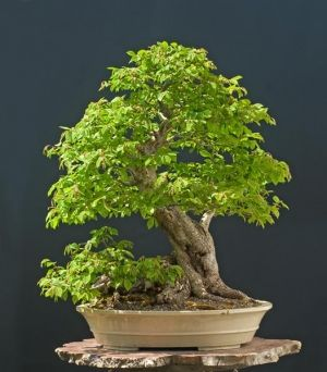 Carpinus caroliniana  4 - Year Tree