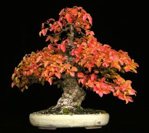 Carpinus coreana   3 - Year Tree