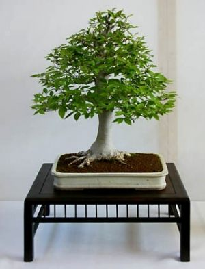 Carpinus japonica   3 - Year Tree