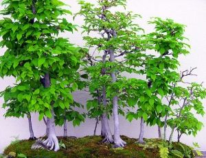 Carpinus laxiflora   3 - Year Tree