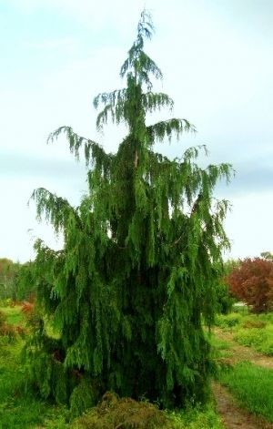 Chamaecyparis nootkatensis Pendula    2 - Year Graft