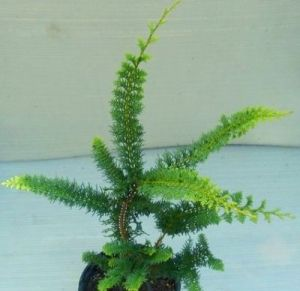Chamaecyparis obtusa Filicoides Aurea    3 - Year Cutting