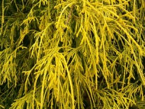 Chamaecyparis pisifera Gold Mops  1 - Year Cutting