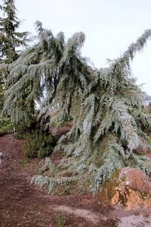 Cupressus glabra Raywood Weeping    2 - Year Graft