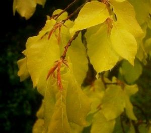 Fagus sylvatica Dawyck Gold  2 - Year Graft