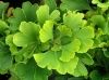 Ginkgo biloba Mariken  3 - Year Graft - 2
