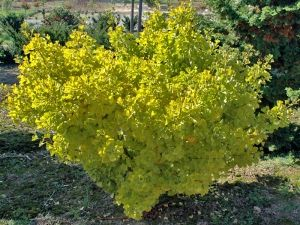 Ginkgo biloba Witches Broom 1 - Year Graft