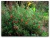 Grevillea Victoriae  MOUNTAIN GREVILLEA  3 - Year Tree - 1