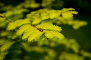 Metasequoia glyptostroboides Gold Rush   2 - Year Graft