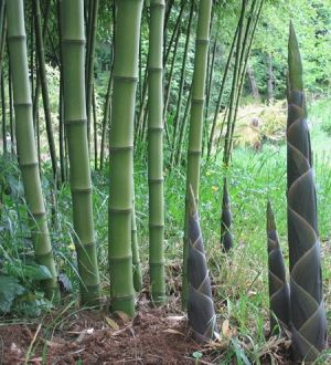 Phyllostachys atrovaginata  (Incense Bamboo) 2 - Year Plant