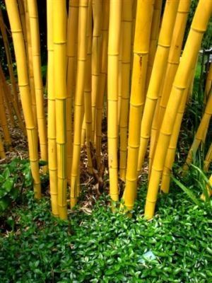 phyllostachys vivax aureocaulis on. Black Bedroom Furniture Sets. Home Design Ideas