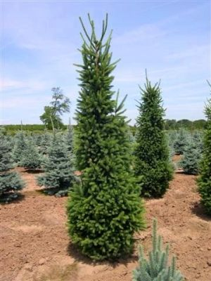 Picea abies Cupressina  4 - Year Graft
