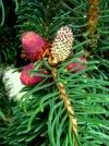 Picea abies Cupressina  4 - Year Graft - 1