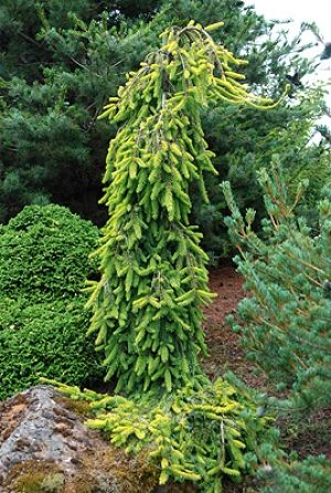 Picea abies Gold Drift 2 - Year Graft