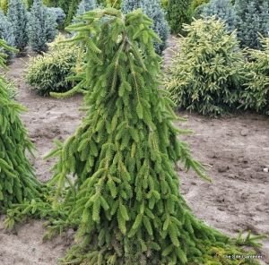 Picea abies Pendula     3 - Year Graft