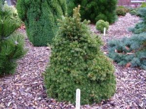 Picea abies Pygmaea  2 - Year Graft