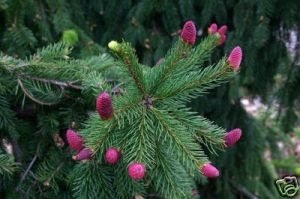 Picea likiangensis 1 - Year Graft