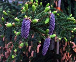 Picea orientalis Gowdy    1 - Year Graft