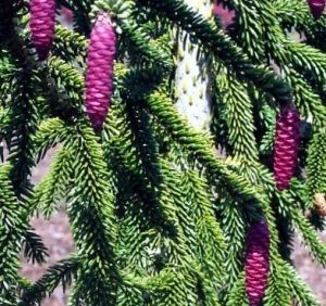 Picea orientalis Pendula    3 - Year Graft