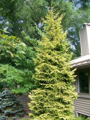 Picea orientalis Skylands   3 - Year Graft