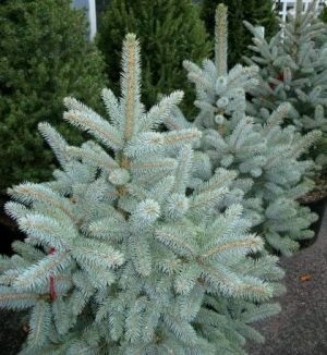 Picea pungens Baby Blue Eyes   1 - Year Graft