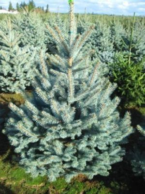 Picea pungens Fat Albert     3 - Year Graft