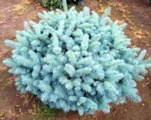 Picea pungens Globosa    2 - Year Graft
