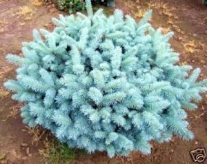 Picea pungens Globosa    4 - Year Graft