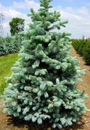 Picea pungens Hoopsi  4 - Year Graft