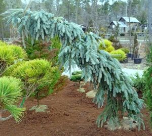 Picea pungens The Blues    2 - Year Graft