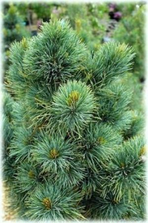 Pinus cembra Blue Mound 2 - Year Graft