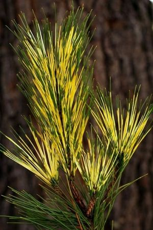 Pinus densiflora Burkes Red Variegated   3 - year graft