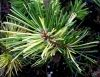 Pinus mugo Real Sparklers  2 - Year Graft - 1