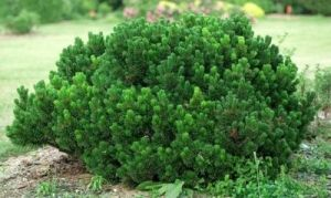 Pinus mugo Sherwood Compact    1 - Year Graft
