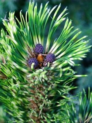 Pinus mugo Sunshine    1 - Year Graft