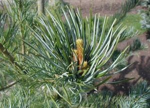 Pinus parviflora  5 -Year Tree