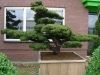 Pinus parviflora  5 -Year Tree - 1