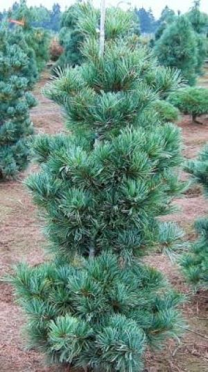 Pinus parviflora Gimborns Ideal     3 - Year Graft