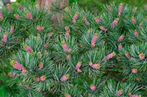 Pinus parviflora Glauca   2 -Year Graft
