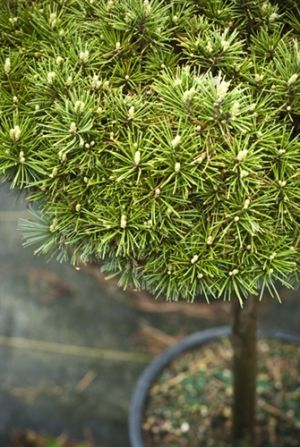Pinus strobus Mary Sweeny 1 - Year Graft