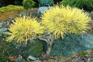 Pinus sylvestris Gold Coin 3 - Year Graft