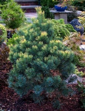 Pinus sylvestris KBN Gold Spot 2- Year Graft