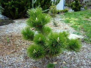 Pinus thunbergii Banshoho      1 - Year Graft