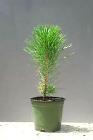 Pinus thunbergii JAPANESE BLACK PINE - 3 Year Tree