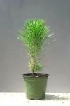 Pinus thunbergii JAPANESE BLACK PINE - 3 Year Tree - 1