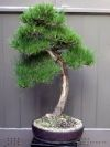 Pinus thunbergii JAPANESE BLACK PINE - 3 Year Tree - 4