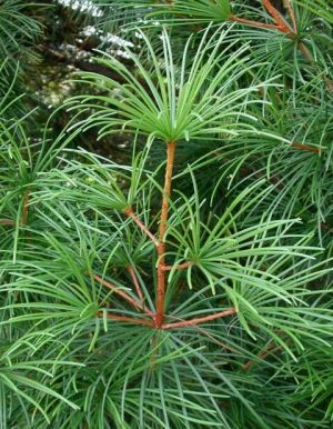 Sciadopitys verticillata (Japanese Umbrella Pine)    4  - Year Tree