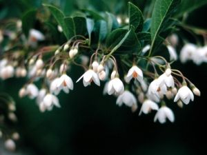Styrax japonicus Emerald Pagoda 1 - Year Graft