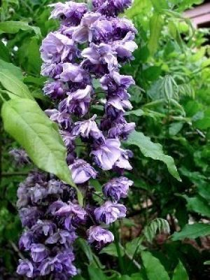 Wisteria floribunda Black Dragon  2 - Year Plant